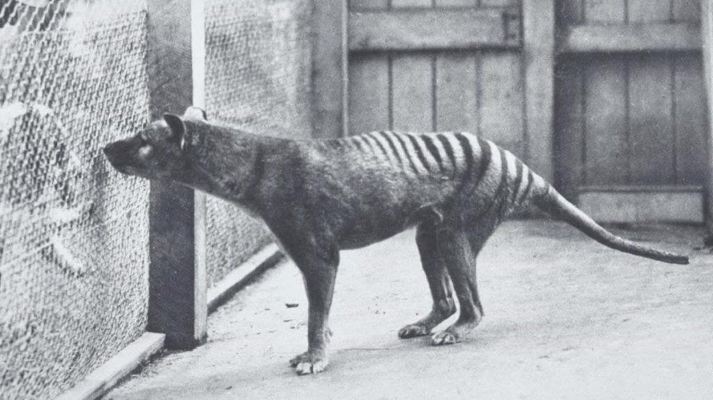 Foto de tigre de tasmania