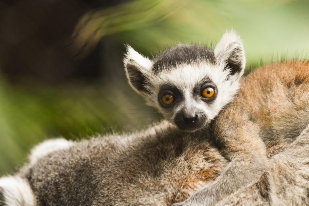 Foto de Loro Parque da la bienvenida a una nueva cría de lémur de